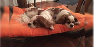 Cavallier King Charles Spaniel Pepper und Chilli im Hundebett Doxx Lounge
